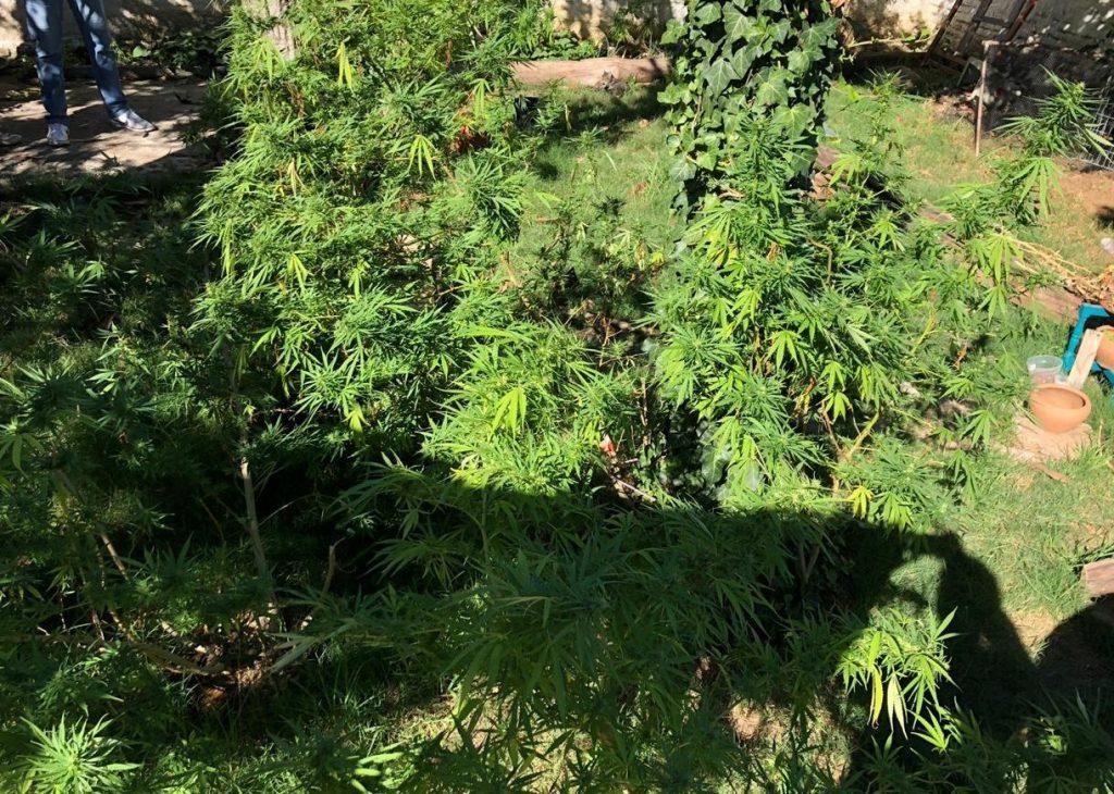 Foram encontrados mais de 20 pés de maconha no local       Foto: Polícia Civil/Imprensa