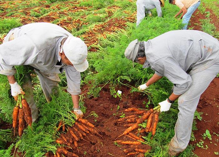 Cenoura_cultivo_orgânico_Agnaldo Carvalho