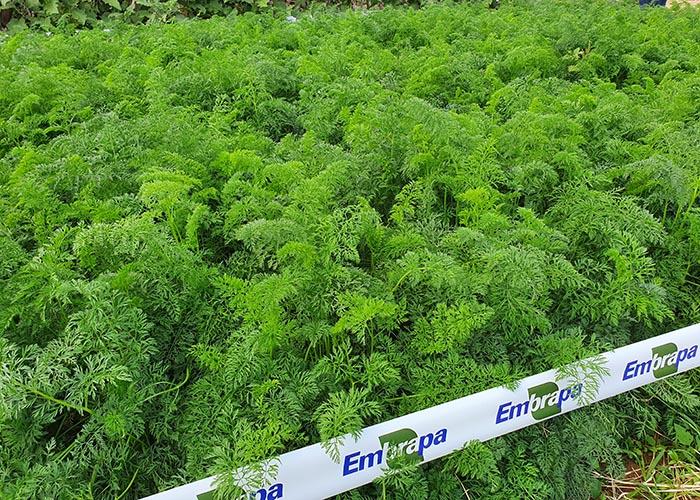 Plantio cenoura_cultivo_orgânico_Agnaldo Carvalho